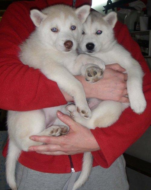 2 white bears