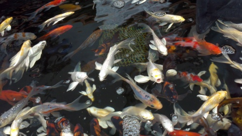 Selection of mix coloured small Koi