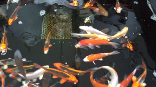 Koi bark time for Koi carp henlow
