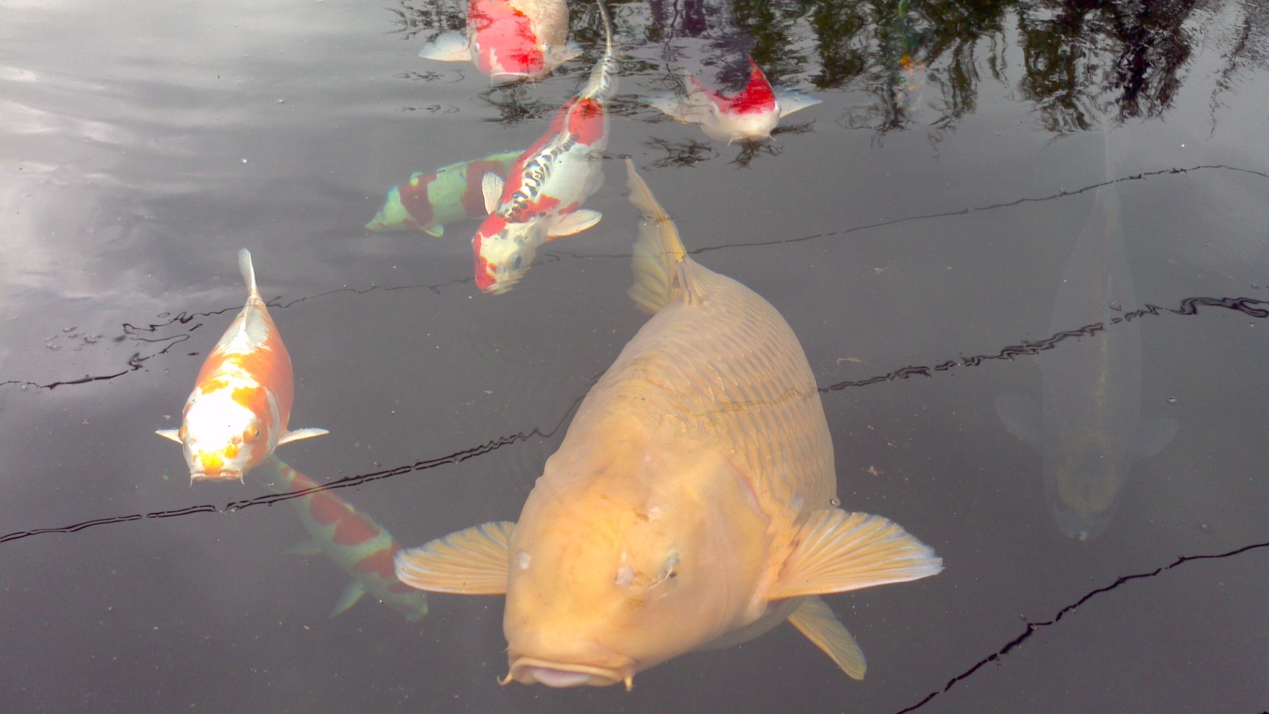 Out and about the japanese koi company bark time for Biggest koi fish