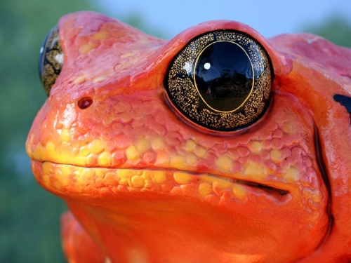 Animals_Reptiles_Red_frog_019543_