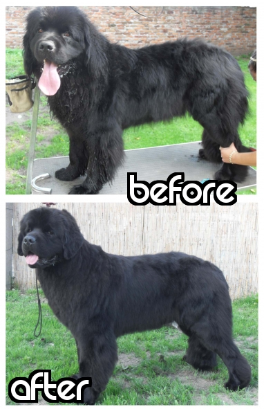 Our Bunk before and after grooming session. Thank You Maja from Cancrimo Kennel.