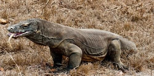 Komodo Dragon Rinca