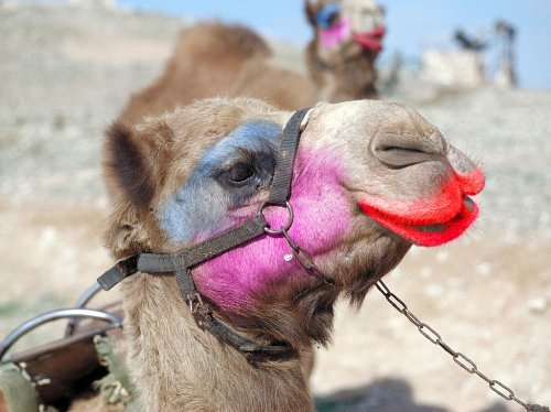 Camel make-up picture source